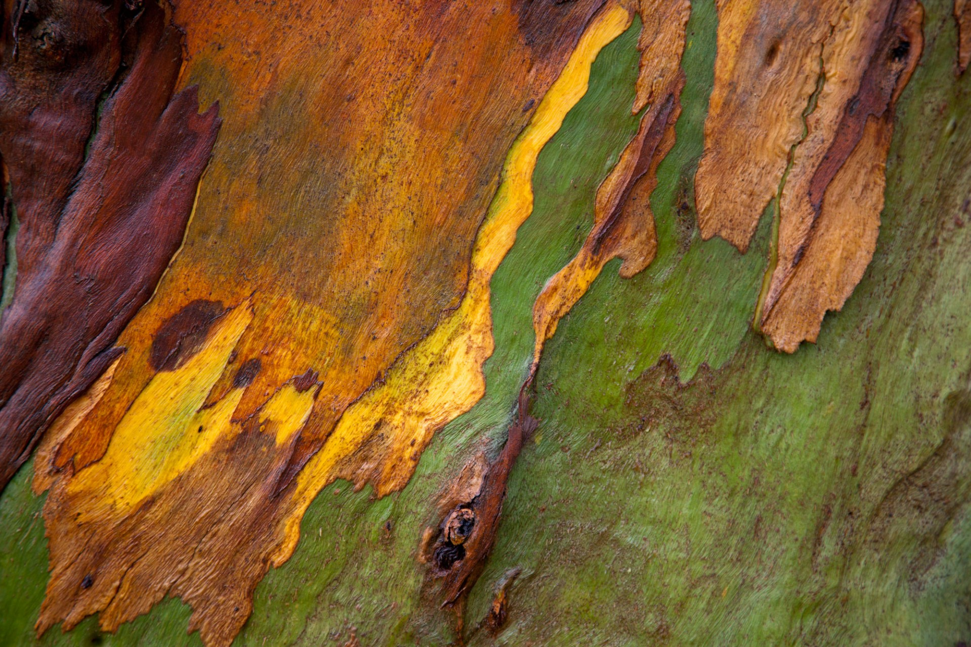 Eucalyptus tree, Uruguay